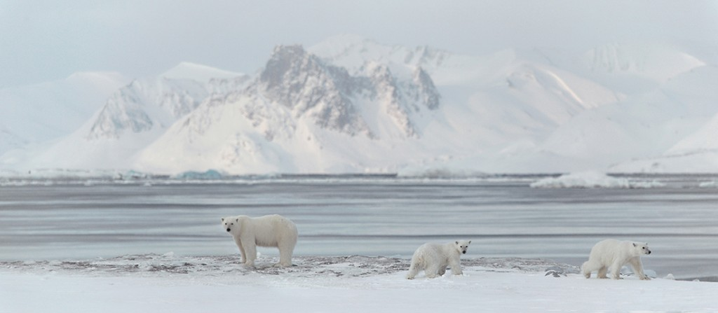 3 polar bears on ice near the North Pole